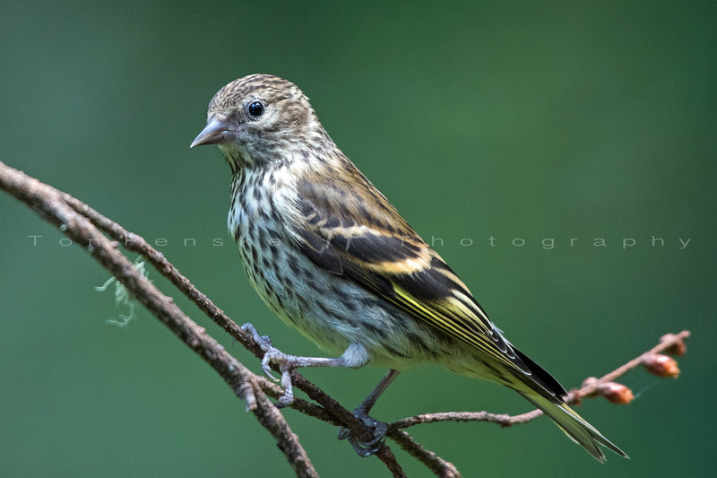 Young Pine Siskin