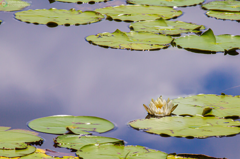Lonely Lily Pad