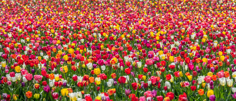 An Endless Field of Tulips 4/26/18