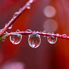 Rain Droplets on a Japanese Maple Tree 5/1/16