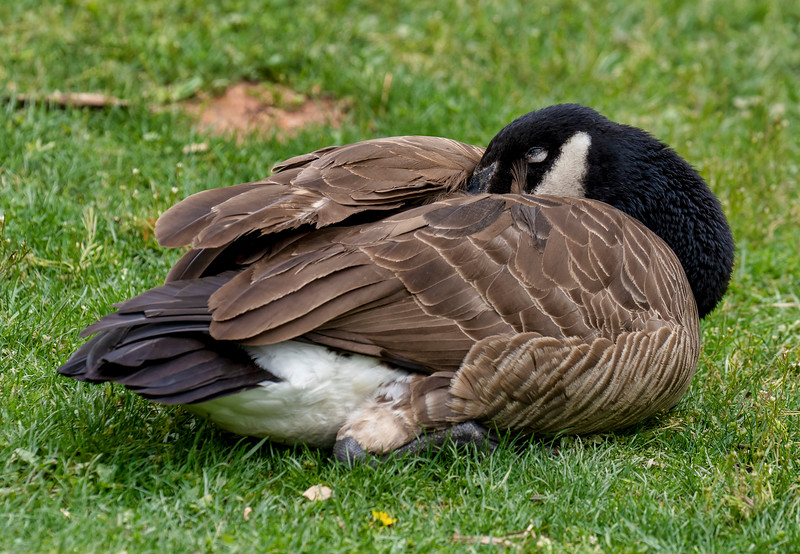 Goose sleeping on a lawn