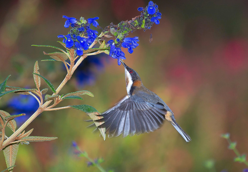 Hovering Eastern Spinebill