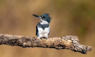 Belted Kingfisher (male).