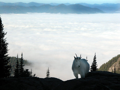 Lake_McDonald_fog_goat