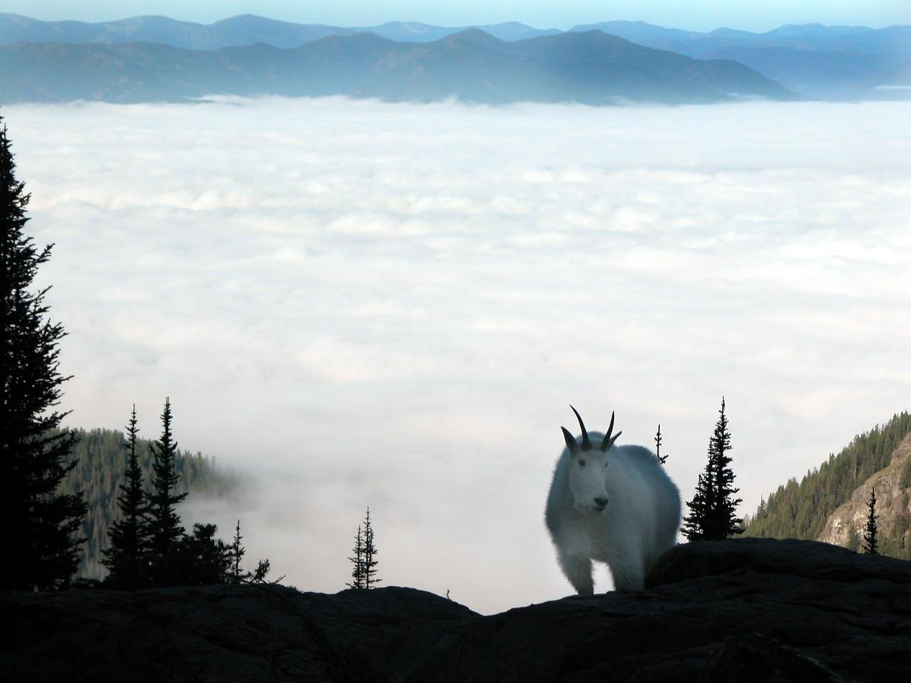 Lake_McDonald_fog_goat