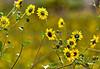 Wild Sundlowers in a Meadow