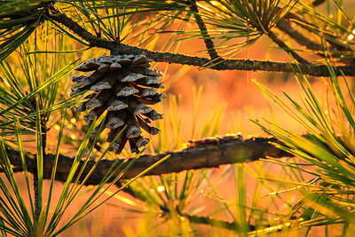 A cone from a shortleaf pine is lit up by the evening sun at Hughes Mountain Natural Area in southern Missouri.   Photo by Kyle Spradley | www.kspradleyphoto.com