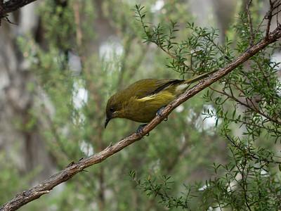 New Zealand Bellbird - Korimako