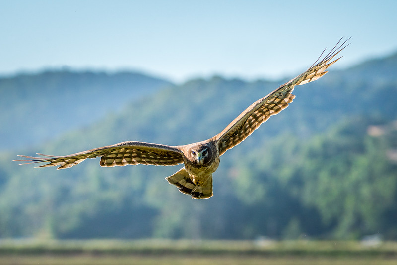 Northern Harrier repeatedly flies at photographer to protect its nest