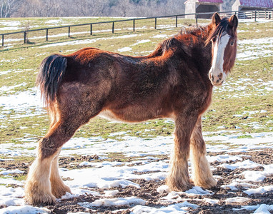 Clydesdale in the Snow