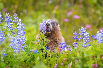 Whistling Marmot