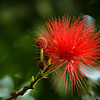 """The flowers of the Powder Puff tree in the Climatron at the Missouri Botanical Garden in St. Louis.<br /> <br /> Photo by Kyle Spradley 