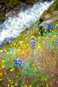 Lupins - Table Mountain-13