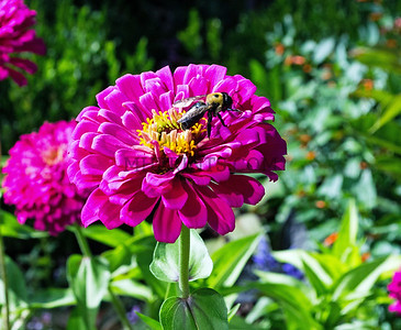 Carpenter Bee And the Zinnia