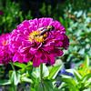 Carpenter Bee And the Zinnia