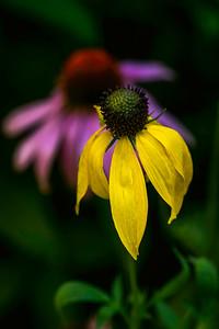 Wild Flowers, Coneflowers