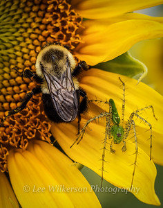 Bee, Spider and Sunflower