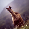 Himalayan Mountain Tahr