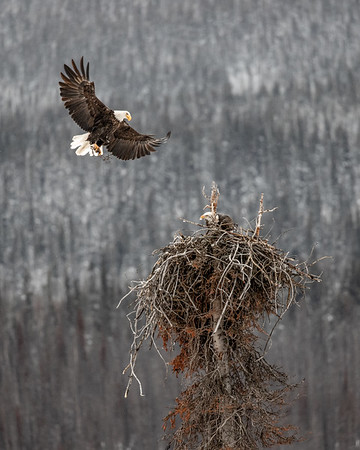 Bald Eagle Nest Jasper