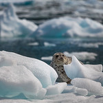 Harbour Seal on Ice
