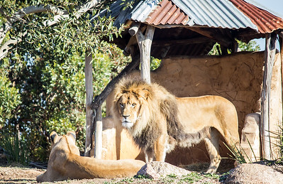 Lion Stares