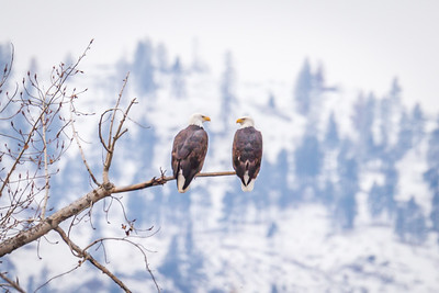 Winter Bald Eagles