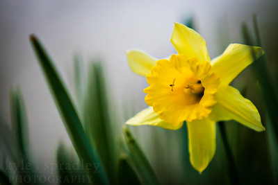 A spider crawls inside a daffodil flower.  Photo by Kyle Spradley | www.kspradleyphoto.com