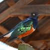 Superior Starling
