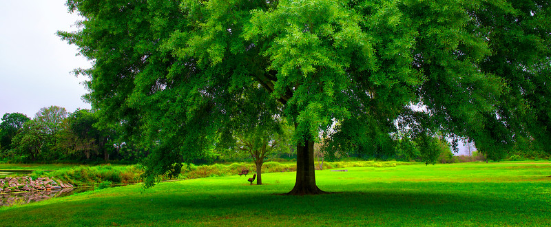 "ETC-3098  ""Giant Shade Tree"""
