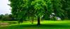 Giant Shade Tree