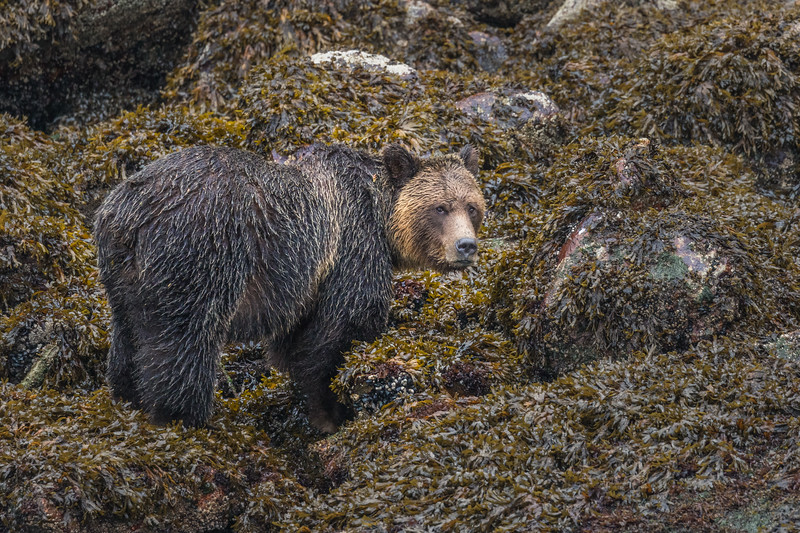 Knight Inlet Grizzly