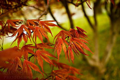 Leaves of a Japanese Maple at the Missouri Botanical Garden in St. Louis.  Photo by Kyle Spradley | www.kspradleyphoto.com