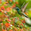 Stunning humming bird feeding at a beautiful garden in Savegre Lodge in San Gerardo de Dota, Costa Rica.