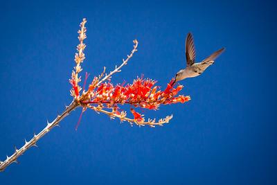 Desert Bloom #joshuatree #nationalpark #wildnerness #nature #photography #outdoors #adventure #canon #5dmkiii #hiking #wildlife #bird #hummingbird #desert