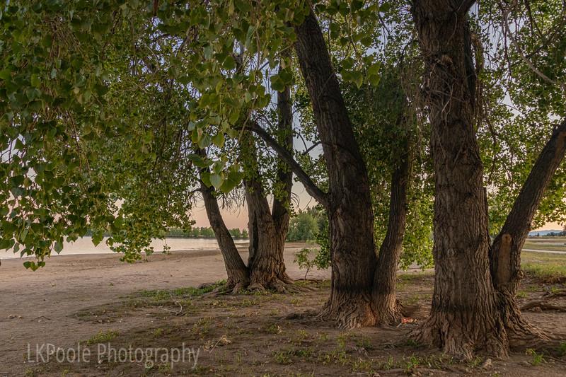 Three Big Trees
