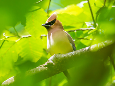 Cedar Waxwing in the Spring