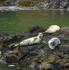 Harbor Seals lounging