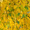 yellow birch leaves in autumn