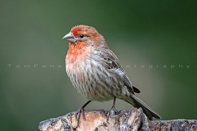 Portrait of a Finch