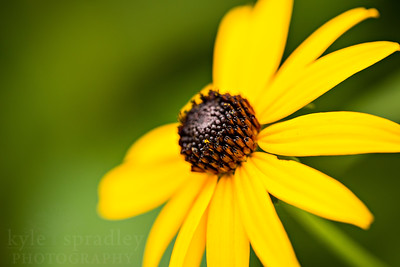 Black-eyed Susan.  Photo by Kyle Spradley | © Kyle Spradley Photography | www.kspradleyphoto.com