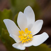 Blood Root, Niquette Bay, Colchester