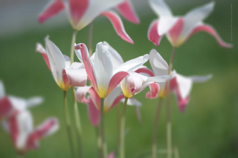 Delaware Tulips