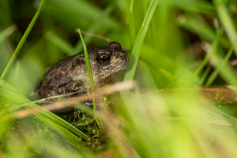 Miniture frog - 0,5 cm in length