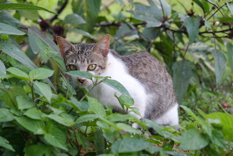 Malu-malu Kucing