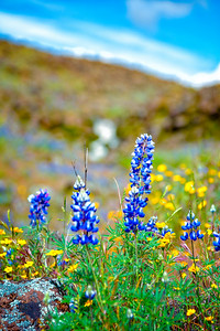 Lupins - Table Mountain-18