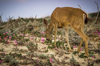Browsing Asilomar Dunes