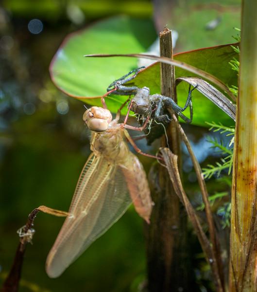 Damsel fly emerges