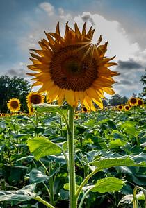 Sunburst Over Sunflower Field 9/2/18