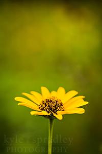 Ox-eye flower or sometimes called false sunflower.  Photo by Kyle Spradley | © Kyle Spradley Photography | www.kspradleyphoto.com