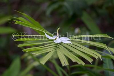 Frangipani on Palm